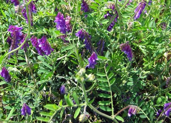 Hairy vetch, another attractive addition to the soil, and easy to look at, too. (Hancock Seed)