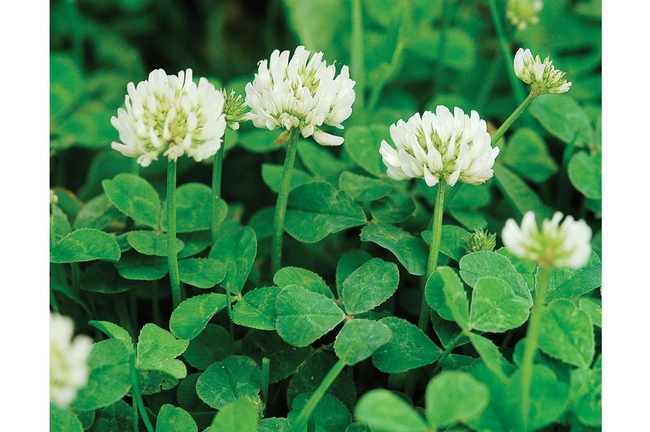 White clover.  This is not bur clover. (Johnny's Selected Seeds)