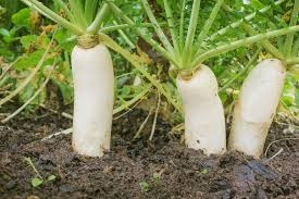 Daikon radish really breaks up the soil for aeration. (Garden.eco)
