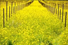 Mustard in field--iconic vineyards in the spring. (Kelleher Family Vineyard)