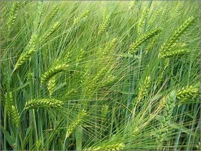 Barley (Amazon.com)