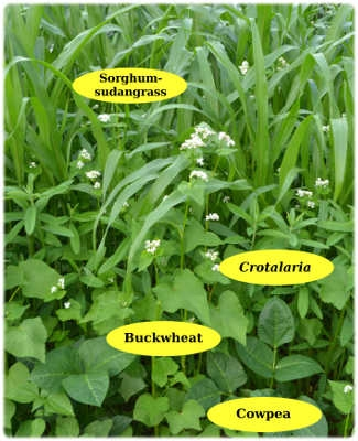 Summer cover crops (Harvey Ussery)