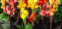 Colors of canna lily (HSN.com) for Napa Master Gardener Column Blog