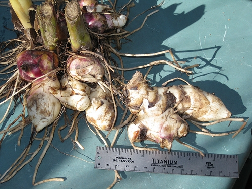 Canna lily tubers (Foraging Texas)