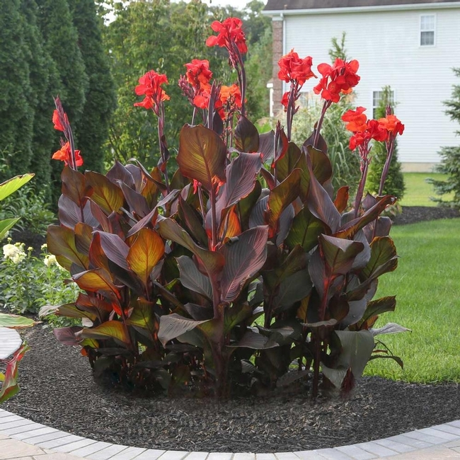 Red canna lily (Longfield Gardens)