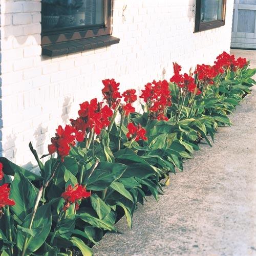 Dwarf canna lily  (Van Bourgondien)