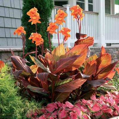 Tall canna lilies come in colors, too! (Longfield Gardens)