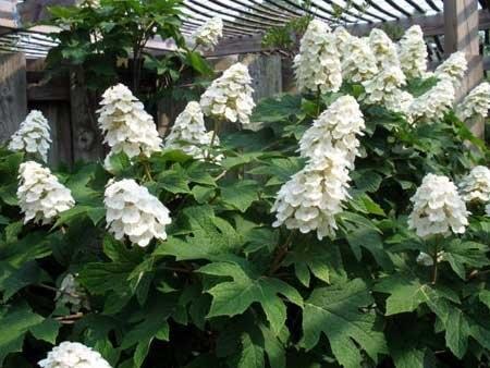 Oakleaf hydrangea (Insteading)