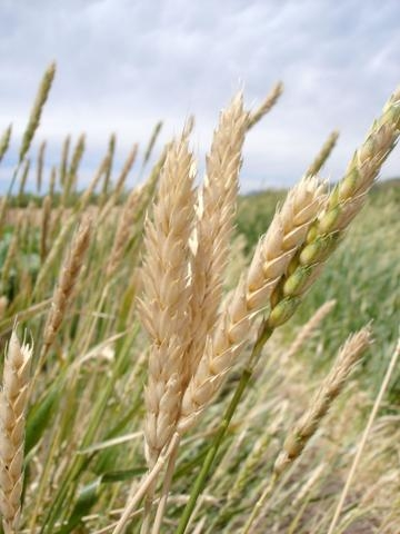 White Sonora wheat (Cleveland Seed Bank)