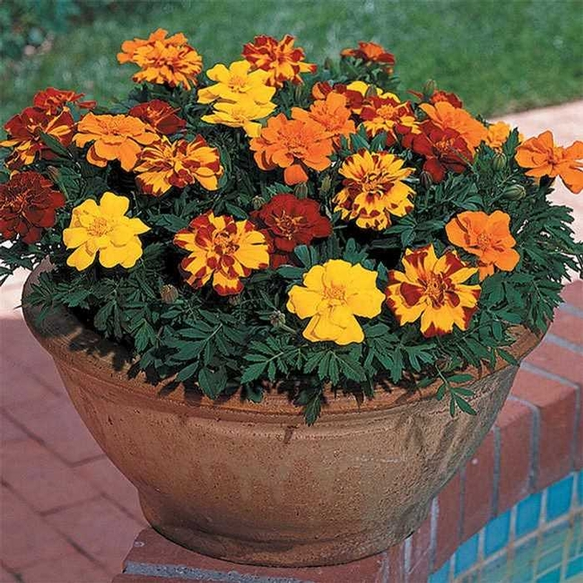 Marigolds (Jung Seed)