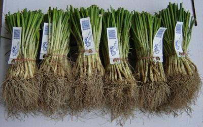 Onion transplants (Locati Farms)