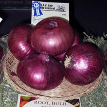 Red Candy Apply onion (Renee's Seeds)