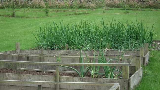 Onions in raised bed (Allotment Garden)