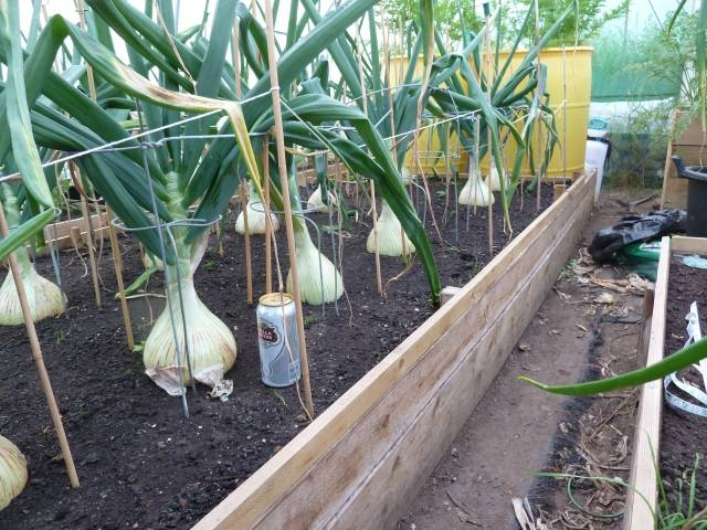 Bulbing onions like these could be in your garden in June! Plant now.  (Allotment Diary)