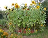 Sunflowers (Pinterest)