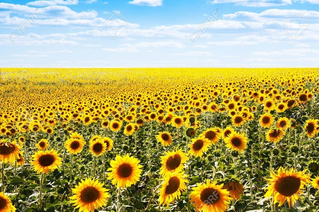 See fields of sunflowers in summer all over the Central Valley and in Yolo County, too.jpg (123RF)