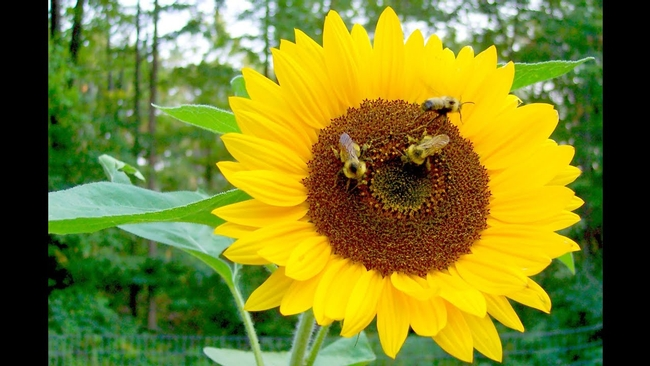 Bees love sunflowers and pollinate them so we (and birds) get seeds.jpg (YouTube)