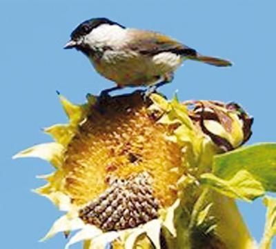 Birds love sunflower seeds.jpg (Foresthill Messenger)