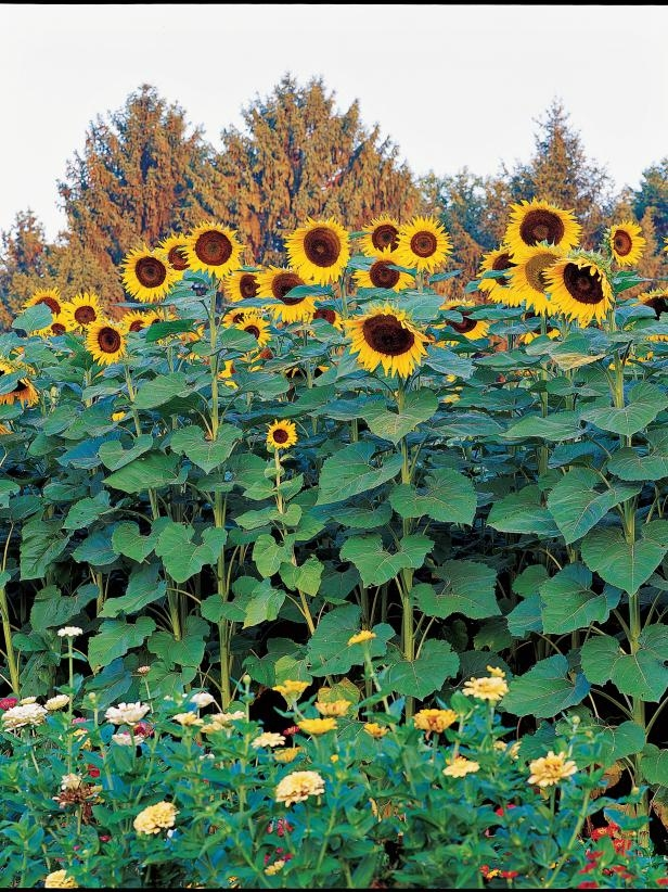 Tall sunflowers --some can reach 10 or 12 feet, with zinnias for size contrast (HGTV)