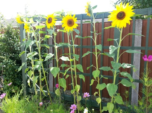 A sunflower garden is a happy summer view. (www.carvermuseum.org)