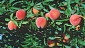 A well-cared for peach tree.jpg (Lowe's)