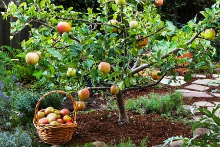 Do your best to keep your fruit tree small.jpg (plus.google.com)