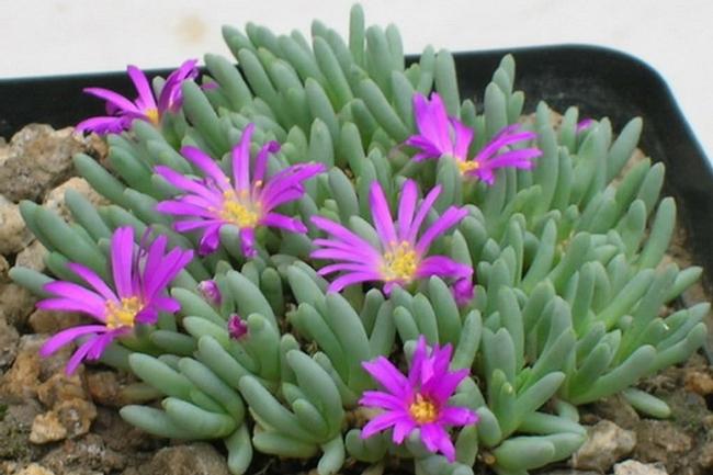 Aizoaceae (Ozbreed)