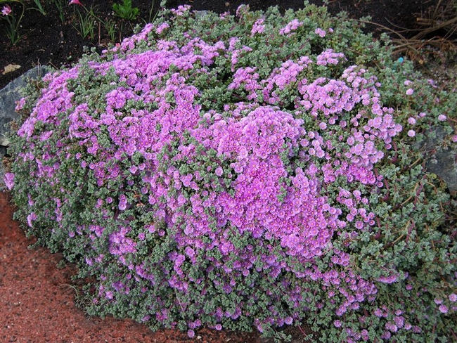Large Oscularia deltoides (Pinterest)  And look how showy they can be!