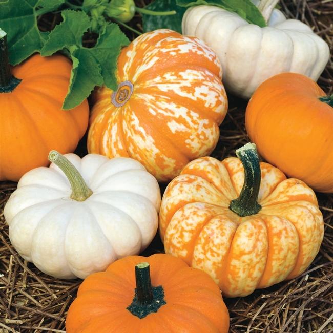 Pumpkins (parkseed.com)