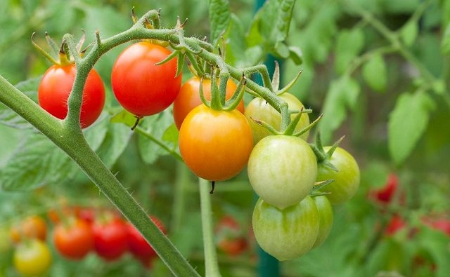 Tomatoes, (Balcony Garden Web)