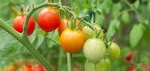 Tomatoes, (Balcony Garden Web) for Napa Master Gardener Column Blog