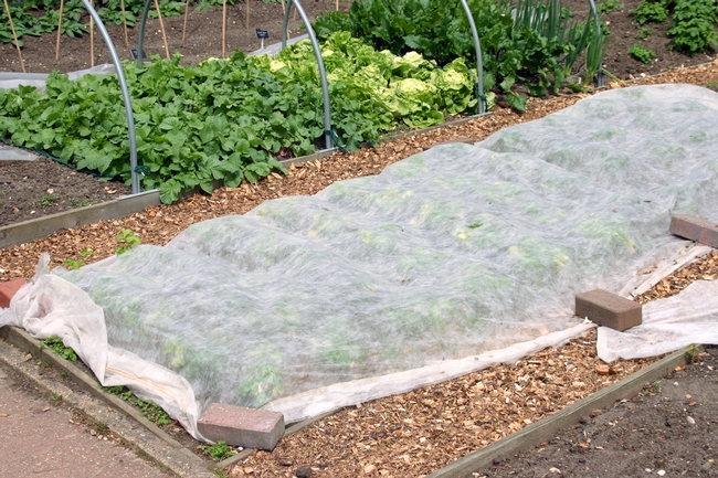 Use floating row cover to protect seeds and seedlings from predators.(Master Gardener Program)