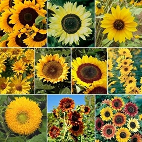 Sunflowers come in many sizes and colors.(Amazon)