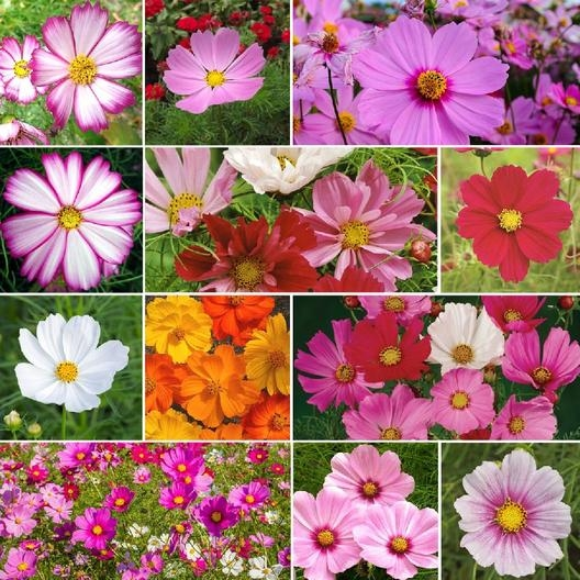Cosmos come in many sizes and colors, too. (Eden Brothers)
