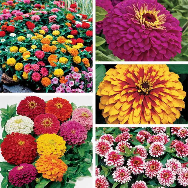 And zinnias come in many sizes and colors! (Park Seed)
