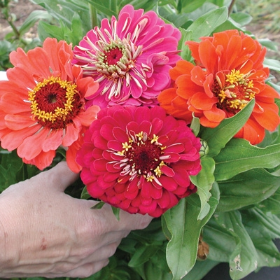 This Benary zinnia is big! (Territorial Seed)