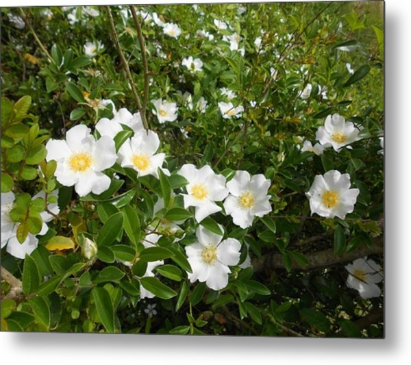 Wild Cherokee Rose (Fine Art America)