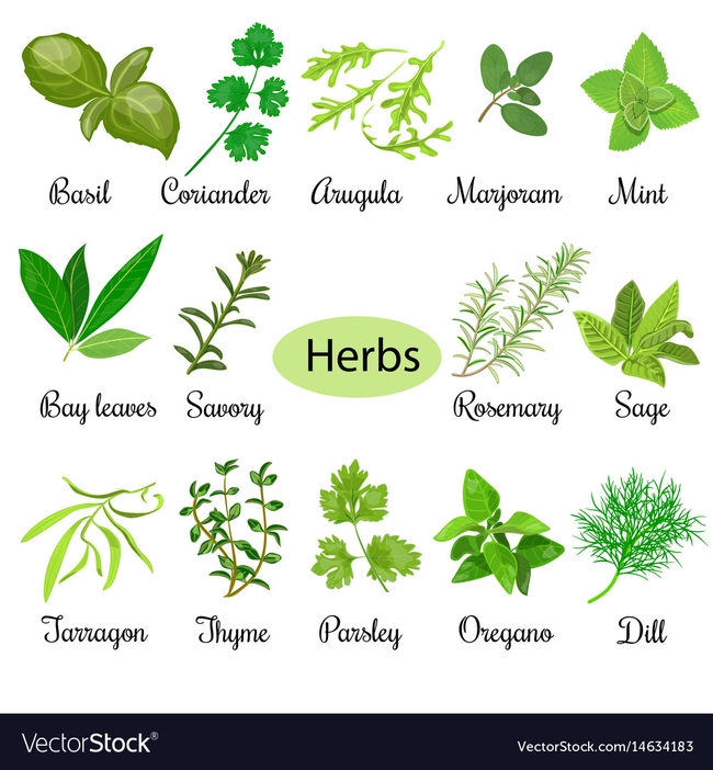 Herbs (vectorstock.com)