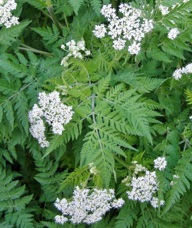 Sweet cicely, Myrrhis odorata (Hill Farm Nursery)