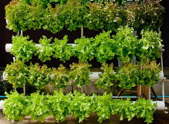 Gutter lettuces (Inhabitat)