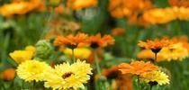 Calendula (Joyful Butterfly) for Napa Master Gardener Column Blog