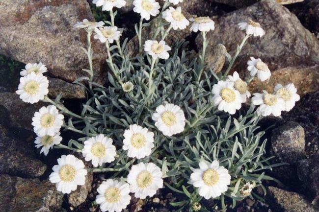 Yarrow, Achillea ageratifolia (Ballyrobert Gardens)