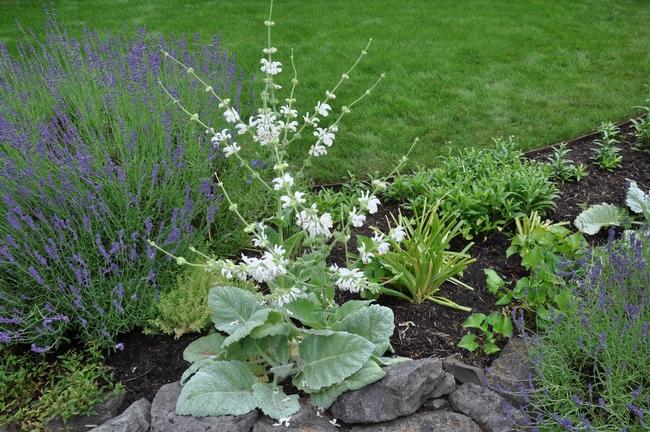 Salvia argentea (PlantMaster)