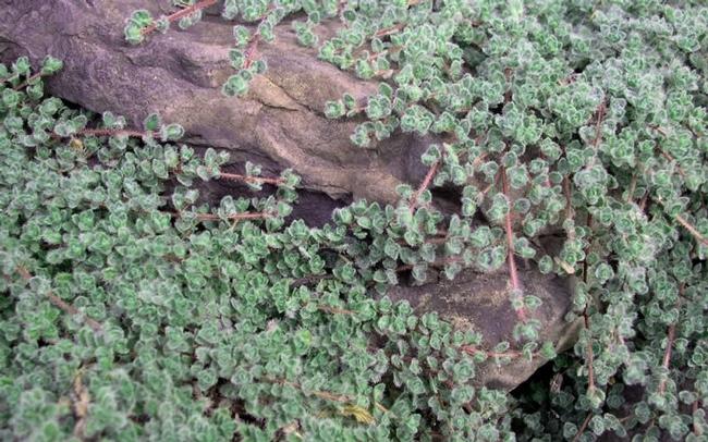 Woolly thyme (ToGo Garden)