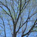 Spring leaves just budding. (Photos Public Domain)