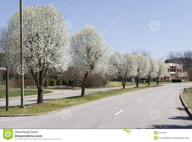 Bradford pear along a street, at their best.  Most Napa street Bradford pears have patches of fireblight.(Dreamstime)