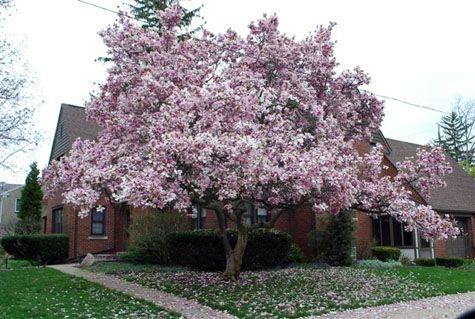 Saucer magnolia (pinterest.com)