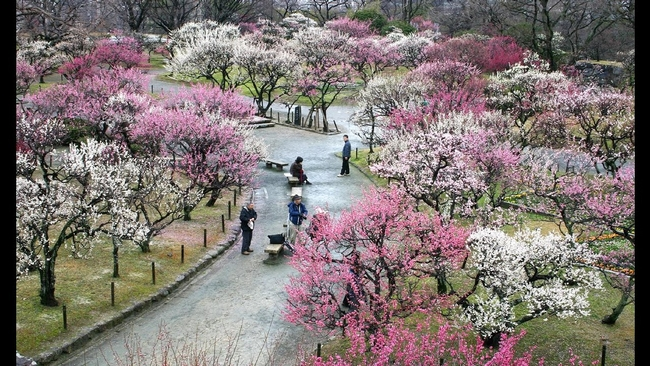 Plum trees in bloom (YouTube)