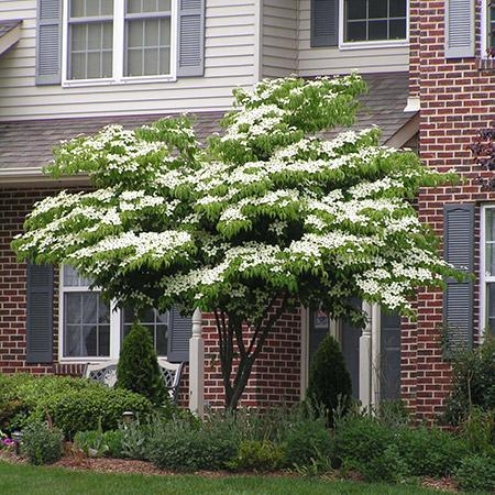 Dogwood--one of many varieties (Fast Growing Trees.com)
