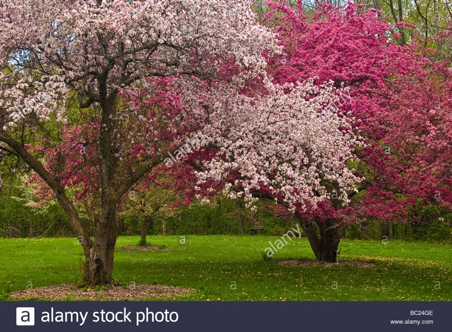 A froth of crabapple trees (Alamy, Royal Botanic Garden)
